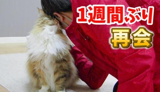 1週間ぶりの愛猫と再会で駆け寄ってくる姿がたまらん!!