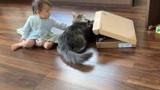 仲裁する娘が呆れるほどケンカを続ける猫 ノルウェージャンフォレストキャット Cat keeps fighting even if arbitrated by daughter