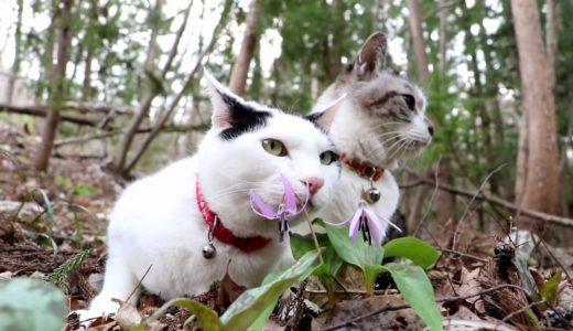 かたくりの花と猫  200414