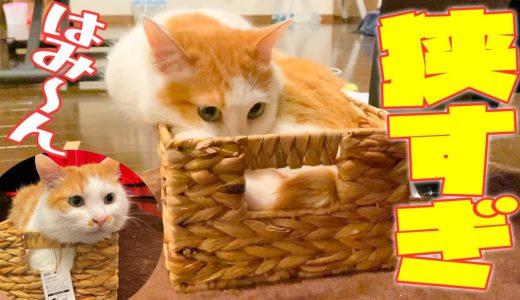 狭すぎる箱に入ろうとした猫がこうなりました。