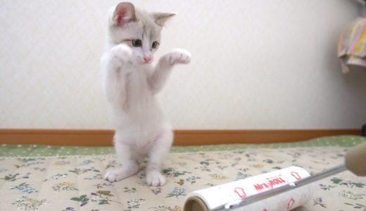 【生後56日】コロコロ相手に当たらない猫パンチを連発する子猫【保護子猫】