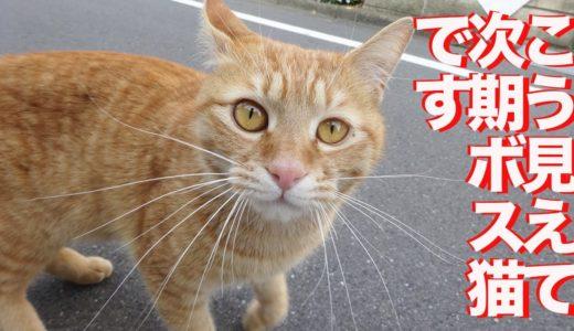最強に人懐こい茶トラ猫、ボス猫修行をする The boss cat practice