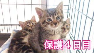 【保護猫】ミミヲさんの変化/【保護子猫】シマシマ3兄弟保護4日目/【子猫】コアニちゃんの成長日記生後34日目ですが、アニメ母さんに異変が!