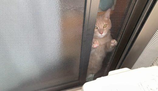 ベランダに出たいと訴える猫