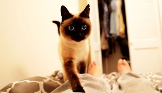 【しゃべる猫】一緒に寝たいと飼い主の上に乗ってくる猫【しおちゃん】