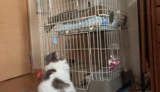 【猫とネコ】子猫が気になる先輩ジン君。ゲージ越しの御対面。