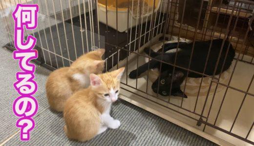 ケージに入っている先輩猫が気になる子猫