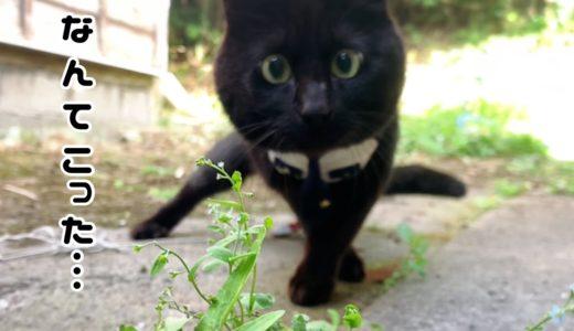 お気に入りの花を刈られてパニックになる猫 Where has my flower gone?