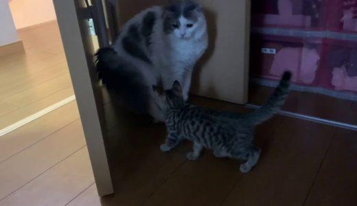 【猫とネコ】新入り保護子猫タロちゃんと先住猫ジン君の緊張感が何とも言えないです。