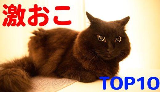 【しゃべる猫】激おこランキング Top10【しおちゃん】