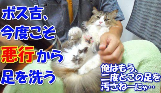 今度こそ悪行から足を洗い、これからは真っ当な猫生を歩んでいくと強く心に誓った巨猫のボス吉