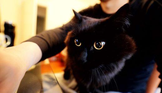 【しゃべる猫】飼い主の膝に乗って仕事を手伝いたがる猫【しおちゃん】