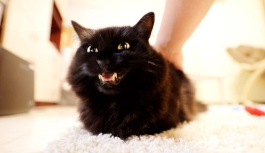【しゃべる猫】お尻を触られて声を上げる猫【しおちゃん】