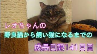 レオちゃんの野良猫から飼い猫になるまでの成長日記141日目