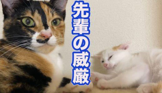 良いお知らせと先住猫と子猫の日常