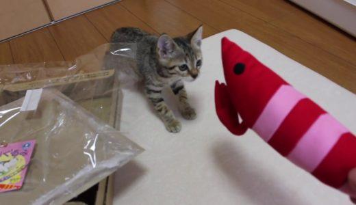 【保護子猫】猫キック専用けりぐるみをタロちゃんに与えたら予想外の展開に。