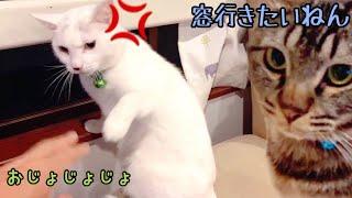 うっざい実家の父に白猫ハク様大激怒!