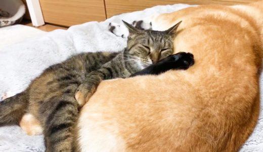 柴犬を抱き枕のようにご利用する猫 Cat bed is shiba inu