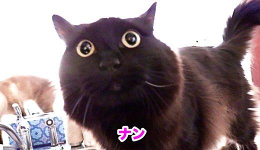 【しゃべる猫】ケンカして「勝手だね!」と文句を言うしおちゃん【おしゃべり特集4】