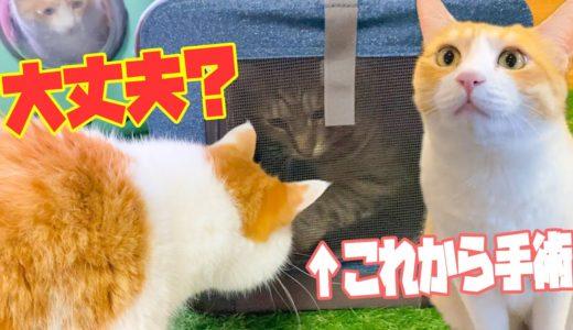 これから手術に向かう猫を心配し声をかける兄弟猫