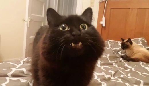 【しゃべる猫】猫が飼い主に早く「寝ろ」と命令するのでスルーしたらキレてきた【しおちゃん】