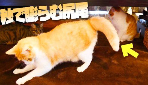 興奮のあまり尻尾がどんどん膨らむ猫が可愛すぎたwww