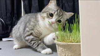 こっそり栽培してた猫草をもち猫に食べられました…