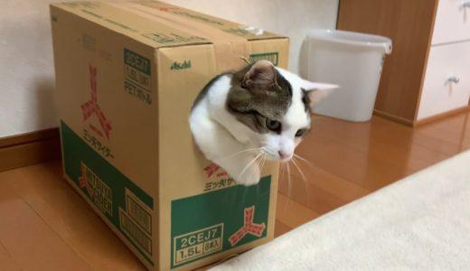 箱に入るときに足ふみする猫