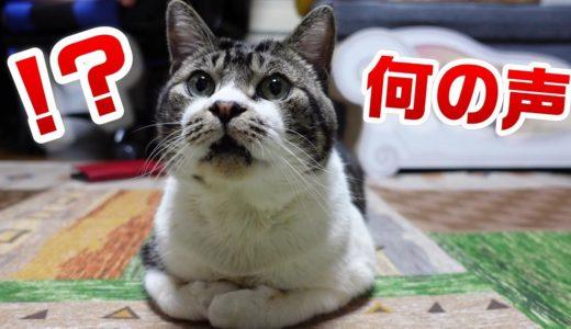 猫嫌いな家猫に、猫の音声を聞かせたらどんな反応をするかな?10歳の猫リキちゃんの鳴き声が可愛すぎる!【リキちゃんねる・猫動画】Cat video きじしろねこのいる暮らし