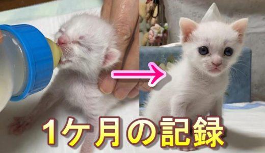 生後1日目の猫の赤ちゃんを保護してから成長してママっ子になるまでの1ケ月【保護猫】