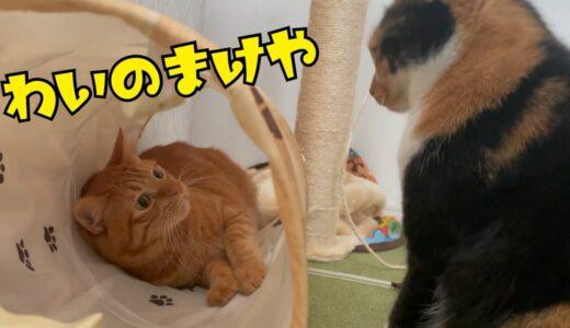 メス猫に圧倒されてしまうオス猫さん…